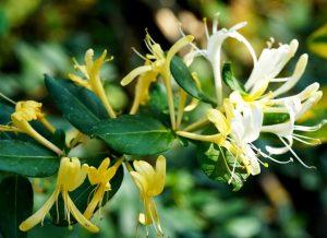 15 lợi ích tuyệt vời của hoắc hương và kim ngân