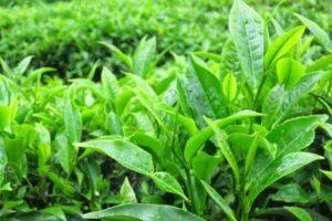 Trị hăm bằng lá trà xanh có thực sự hiệu quả? Chia sẻ từ chuyên gia