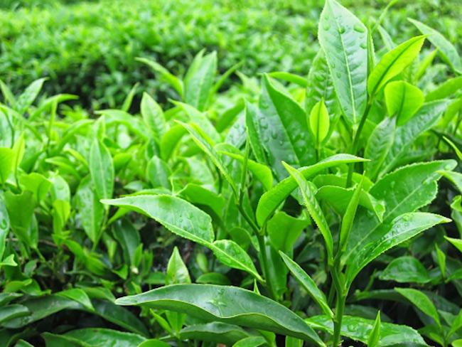 Lá trà xanh có tác dụng gì trong xử lý mẩn đỏ