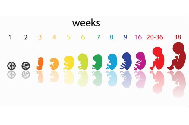 Phương pháp tính ngày sinh IVF mang lại sự chính xác cao